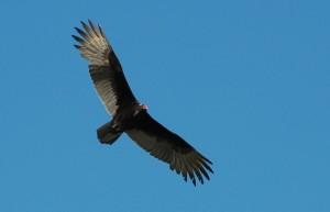 Turkey Vulture Flying
