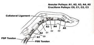 orig_finger_anatomy