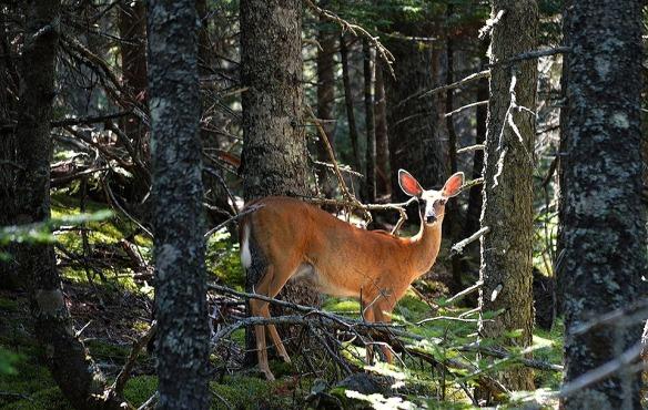 deer-1092074_960_720